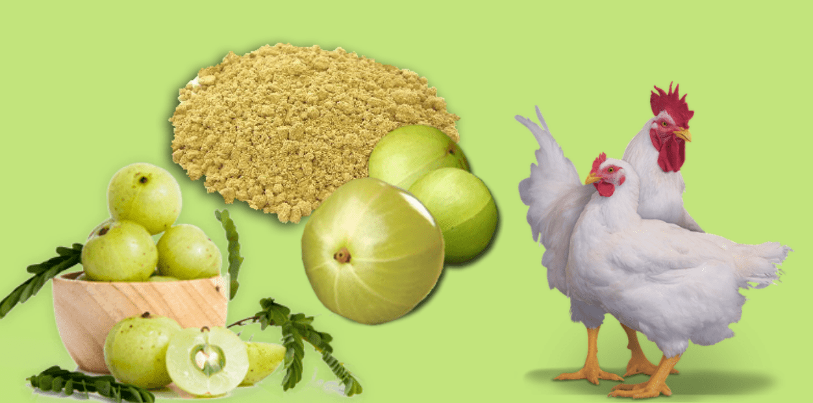 How Amla acts as a growth promoter in broiler chickens